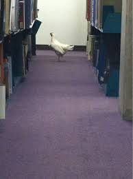 chicken in library